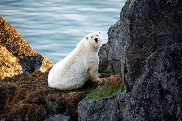 The lady polar bear wakes up thumbnail
