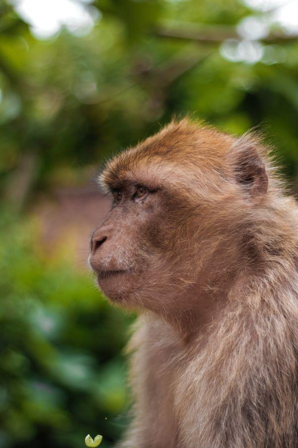 Monkey at Ozoud waterfalls thumbnail