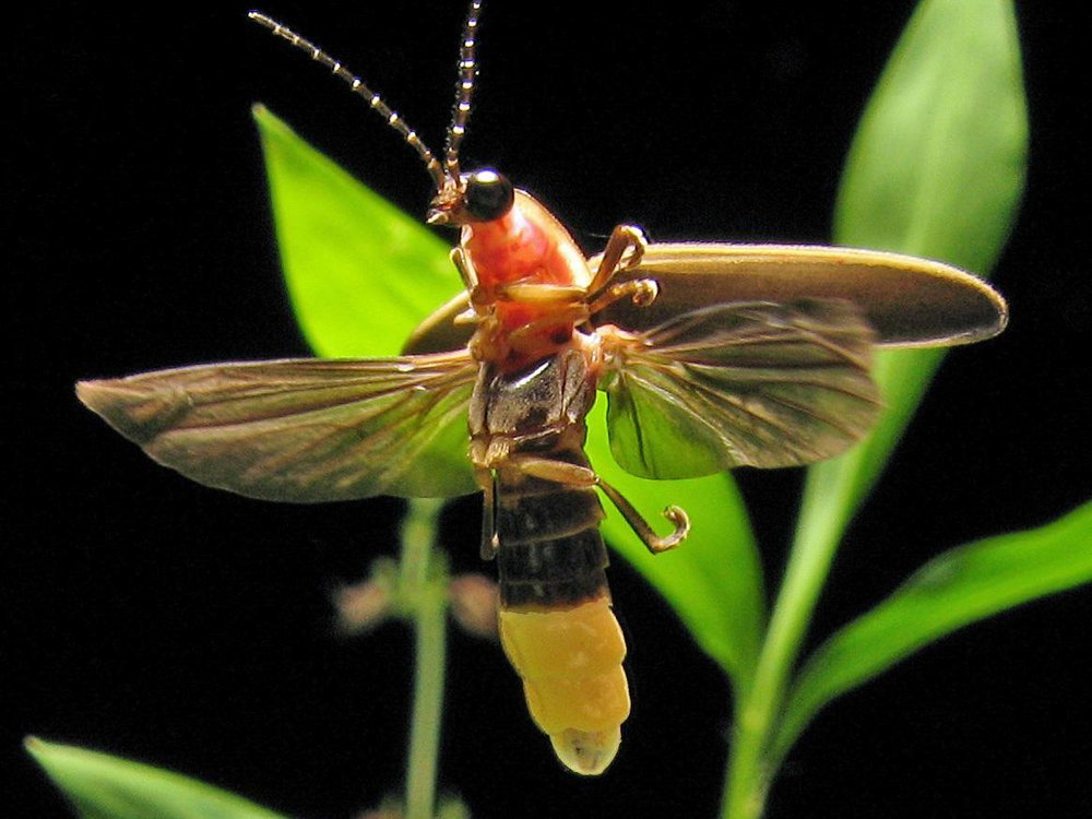 Photinus pyralis, a species of firefly found in the eastern United States