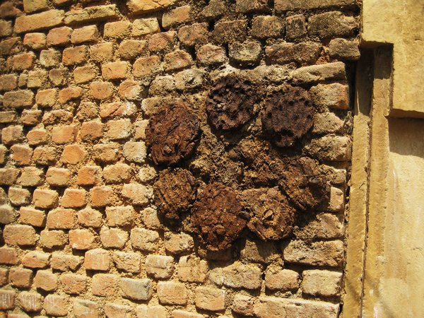 Cow dung patties drying in sun.  Used for fuel for cooking fires.  Old Khajuraho, India thumbnail