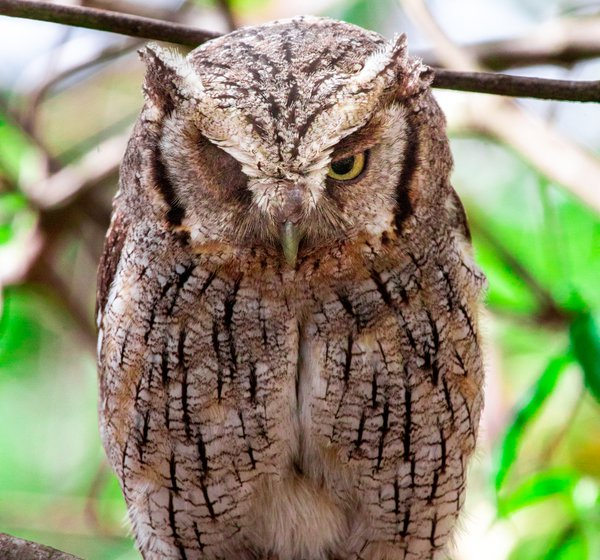 Blinking owl thumbnail
