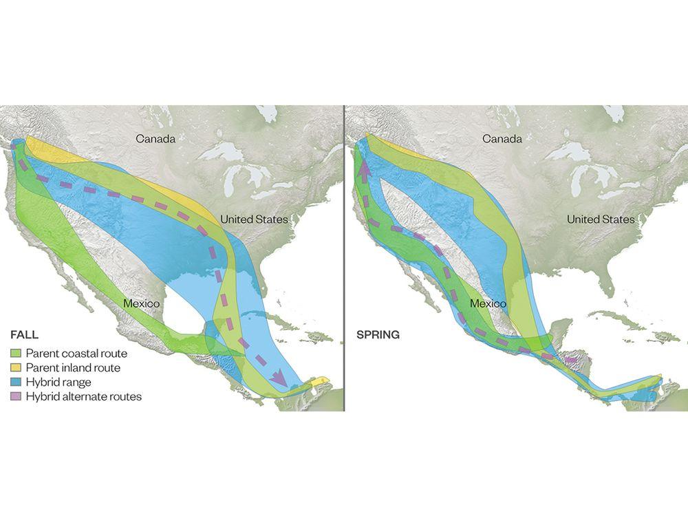 Map of hybrid thrush migration