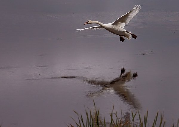 Mute swan glides in for a smooth landing. thumbnail