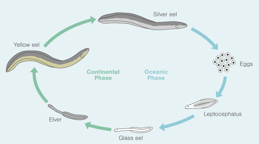 The Epic Fight Over the Enigmatic Eel