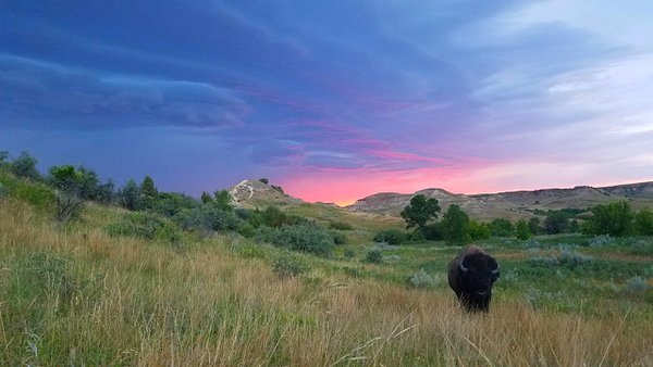 Bison at sunset, Wind Canyon Trail, Theodore Roosevelt National Park thumbnail