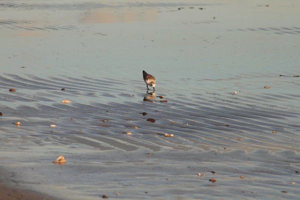 Sandpiper wading at sunset during low tide on the beach. thumbnail