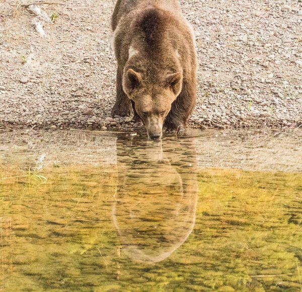 A captive grizzly bear drinking water from a pond. thumbnail