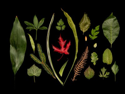 Subtle changes in genetics can have major effects on how leaves grow into a wide variety of shapes.