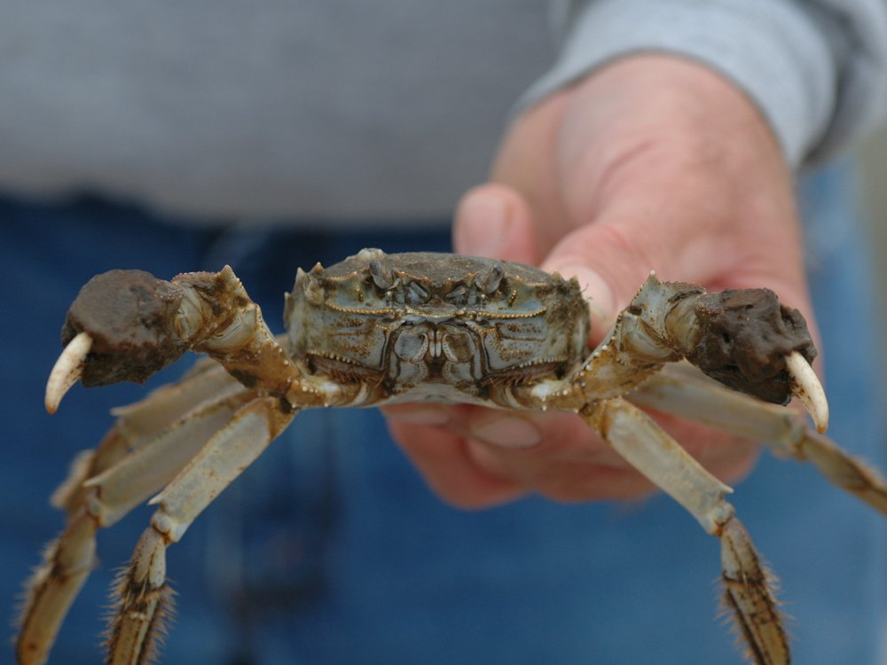 """A Chinese mitten crab found in Chesapeake Beach, Maryland, in 2007. Chinese mitten crabs are most recognizable by their brown, spiny shells and furry """"mittened"""" claws. (Credit: SERC)"""