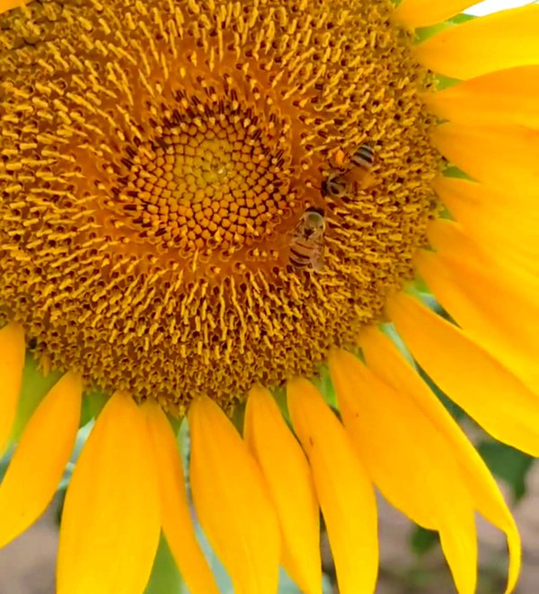 Sunflower and the bees thumbnail