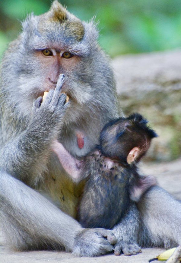 Middle finger monkey  thumbnail