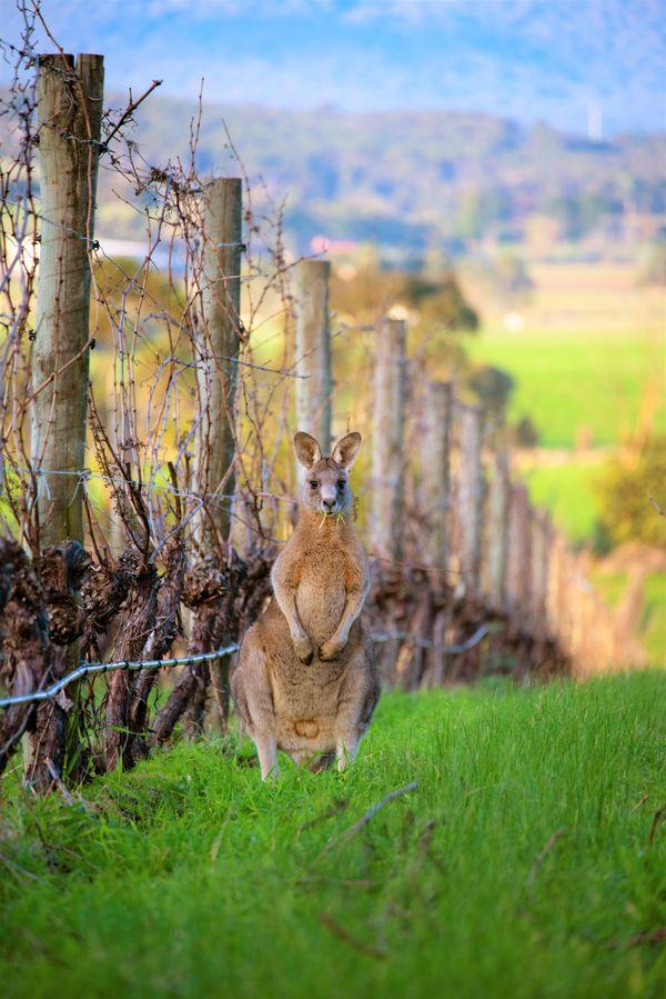 Kangaroo at Chandon Vineyard thumbnail