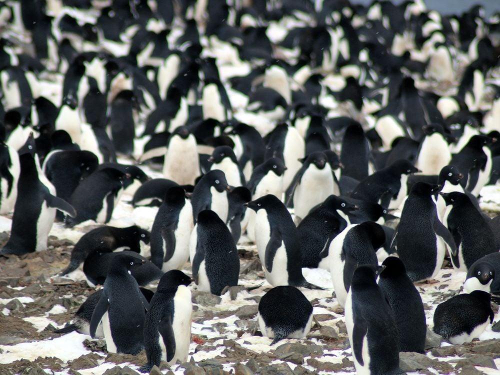 adelie penguin.jpeg