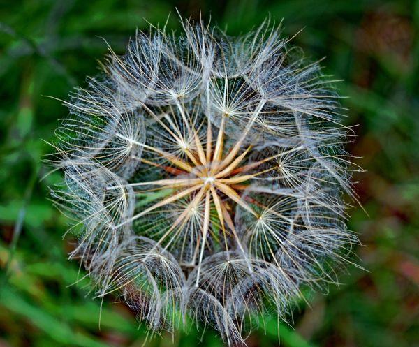 Dandelion at Roan Mountain thumbnail