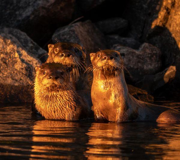 River Otter Family 1 thumbnail