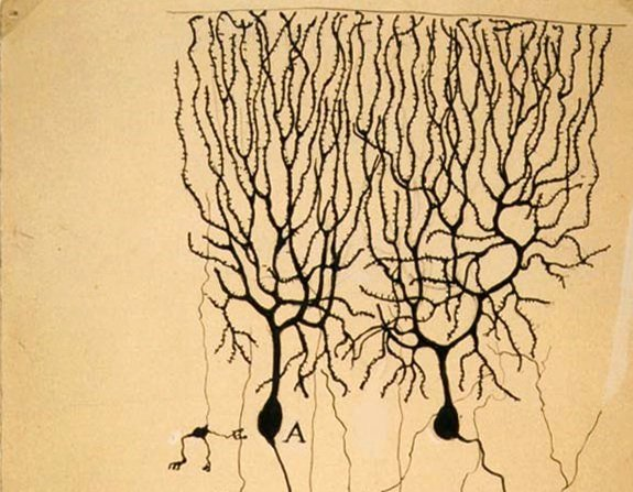 Drawing of Purkinje cells