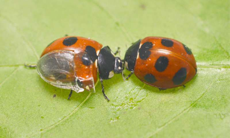The Origami-Like Folds of Ladybug Wings Could Lead to Better Umbrellas