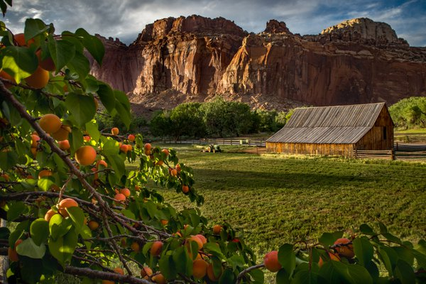 Apricot orchard overlooking red rock cliffs  thumbnail