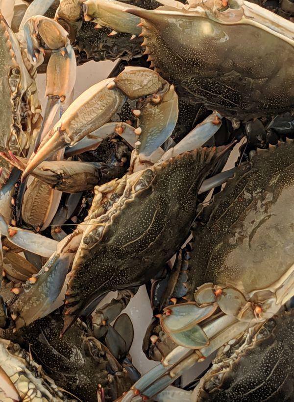 Atlantic Blue Claw Crab thumbnail