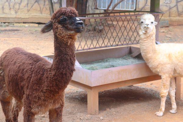 Vicugna Pacos and Alpaca thumbnail