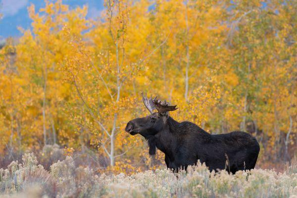 Fall Moose thumbnail