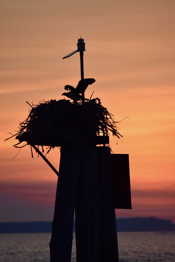 An osprey returns to the nest thumbnail