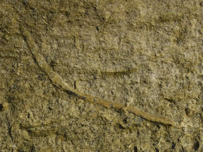 The worms that burrowed in these tunnels may have been the ancestors of modern Bobbit worms, Eunice aphtoditois, and is the earliest known fossil of an ambush predator