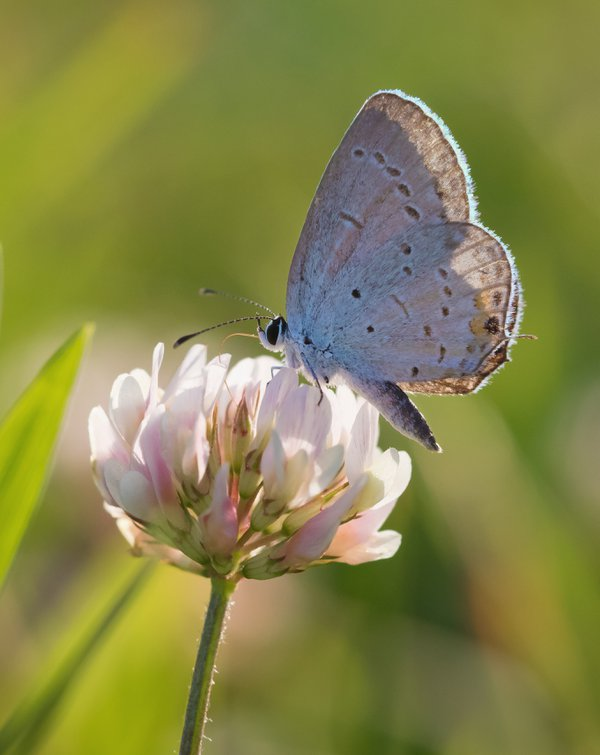 Eastern Tailed Blue Butterfly on Clover thumbnail