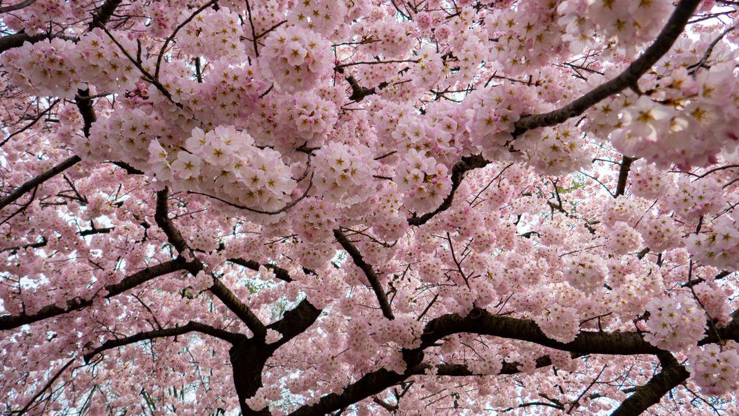 Cherry Blossoms In Washington Dc Smithsonian Photo Contest Smithsonian Magazine