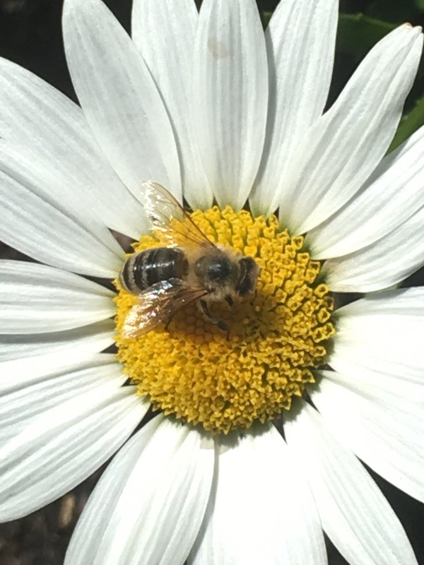 A daisy flower and bumblebee thumbnail