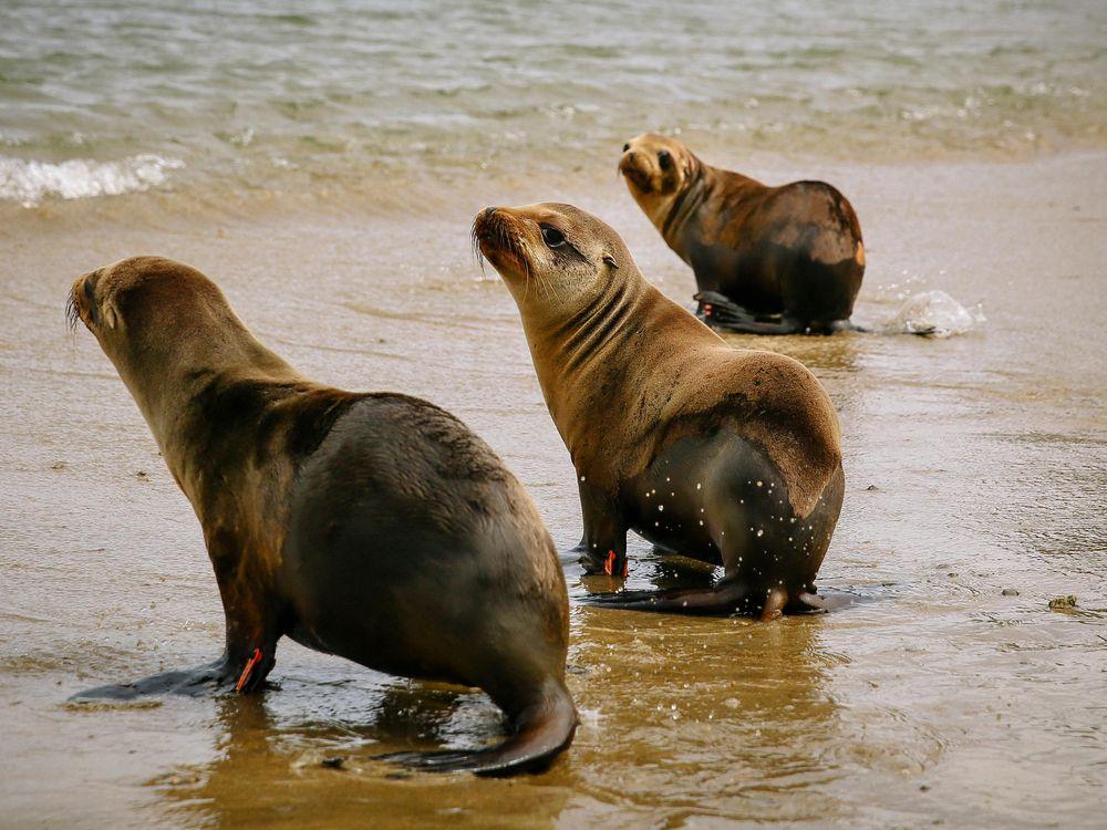 O. California sea lion release_Conner Jay.jpg