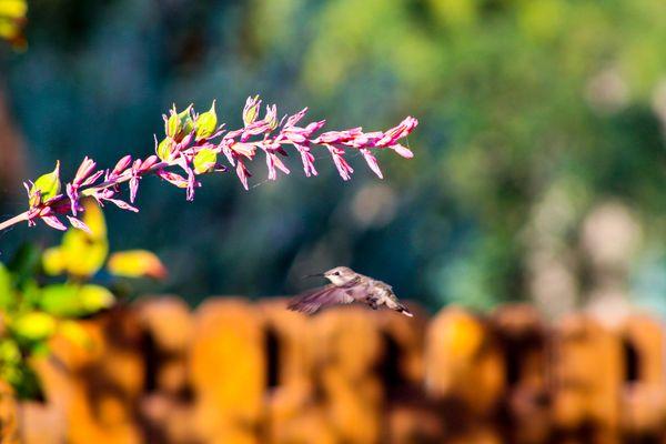 Hummingbird mid flight thumbnail