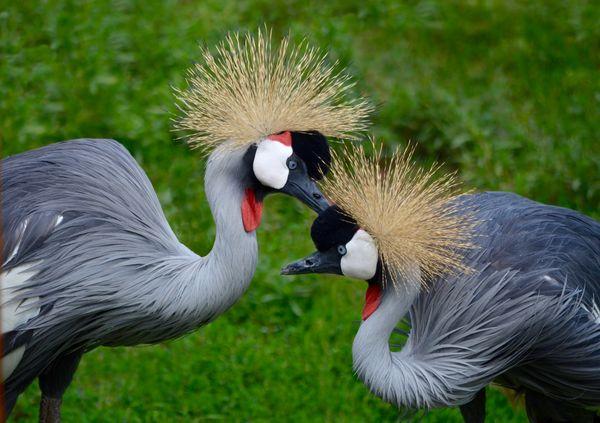 Grooming Cranes thumbnail