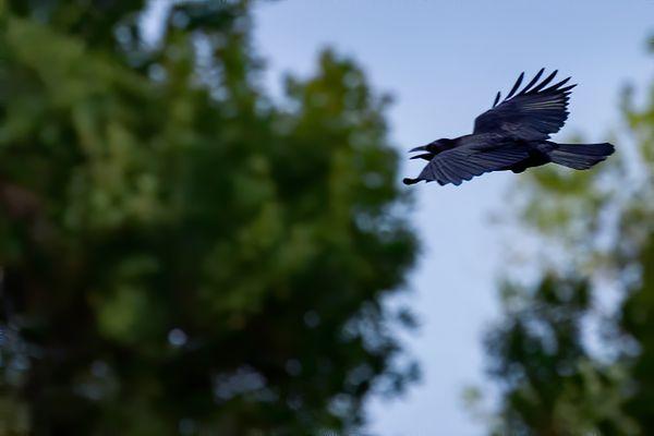 Crow thumbnail
