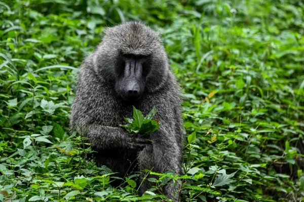 An Olive Baboon in Tanzania selecting leaves to eat thumbnail