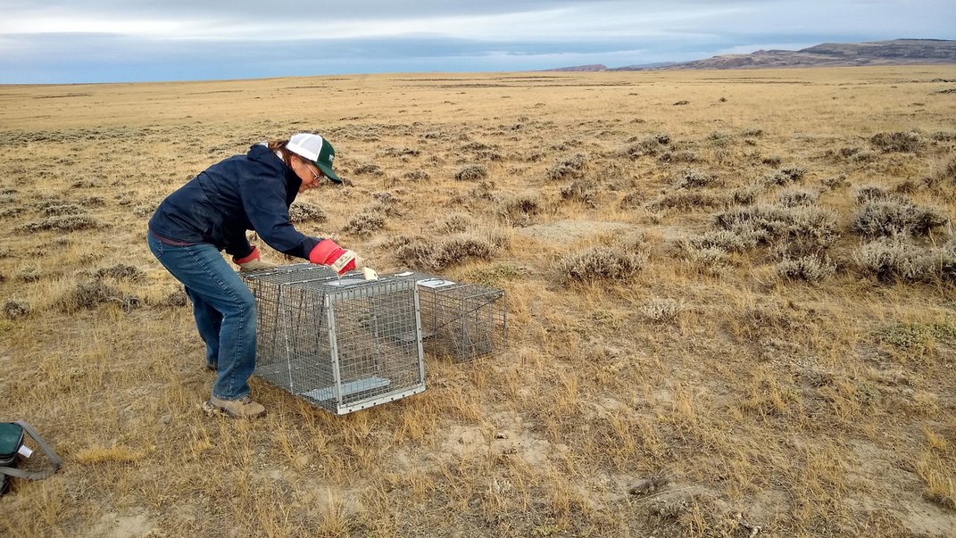 Chamois Andersen, Senior Representative, Rockies and Plains Program, sets up a live box trap in Shirley Basin, a grassland in Wyoming.