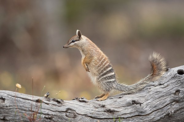 Numbat on the lookout thumbnail