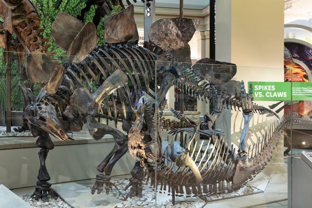 An exhibit display of two dinorsaur skeletons fighting.