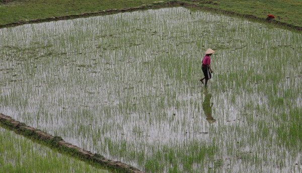 Woman working in a rice paddy field in Sapa Vietnam thumbnail