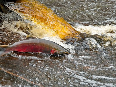 Coho salmon returning from its years at sea to spawn, seen near the Suquamish Tribe's Grovers Creek Hatchery.