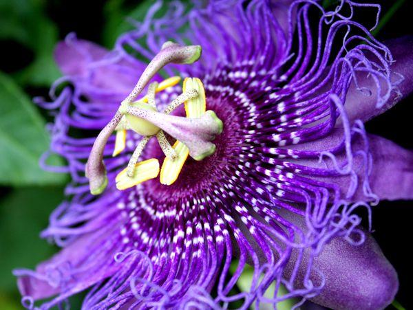 Pretty Purple Passion Flower thumbnail