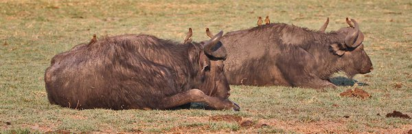 Double Cape Buffalo, with birds thumbnail
