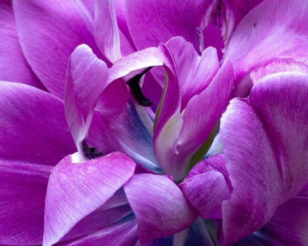 Purple double tulip thumbnail