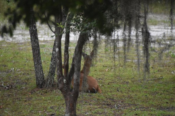 A young buck chews his cud thumbnail