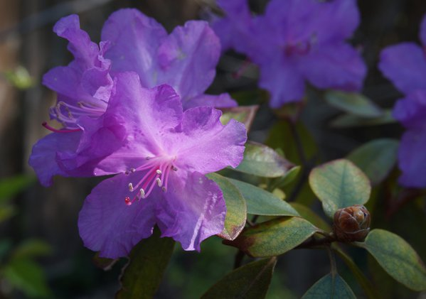 Sunlit rhododendron thumbnail