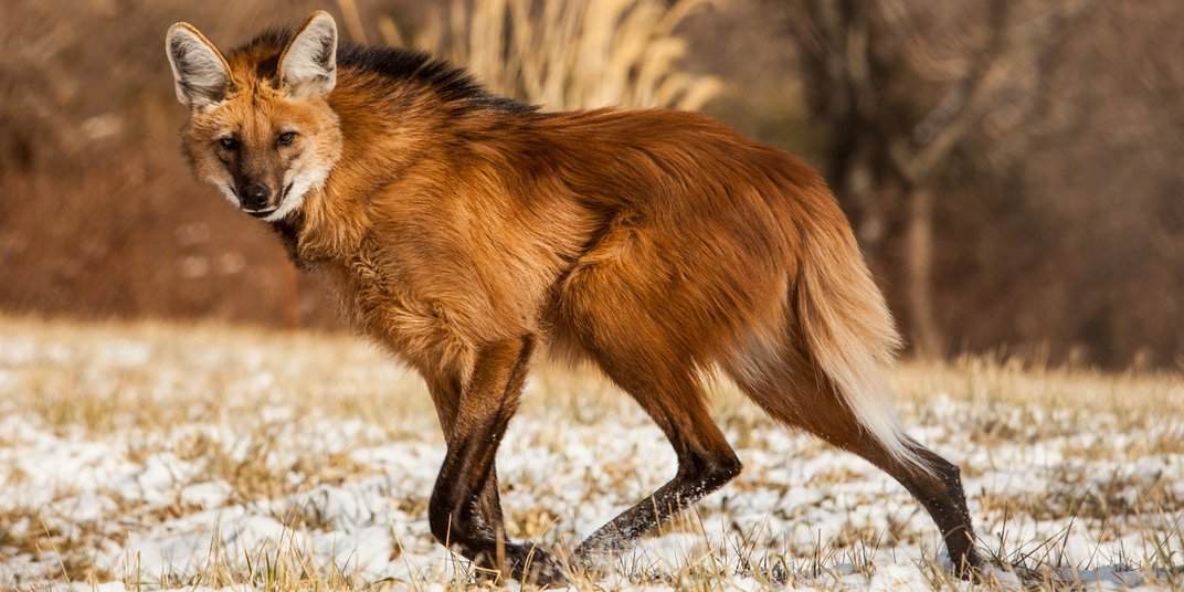 A maned wolf with long legs, a delicate frame, red fur and a thick mane walks through grass lightly dusted with snow