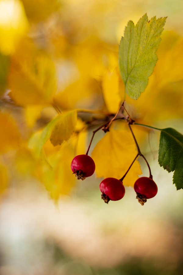 Berries on the Tree thumbnail
