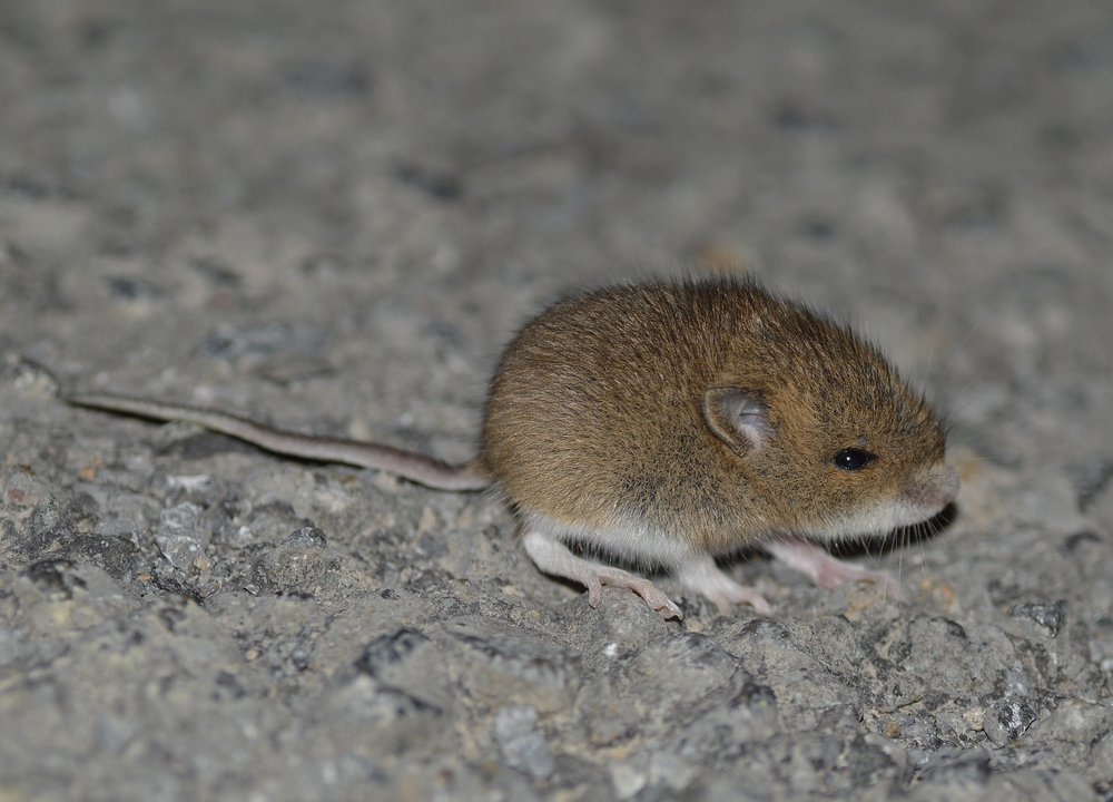 french woodmouse.jpg