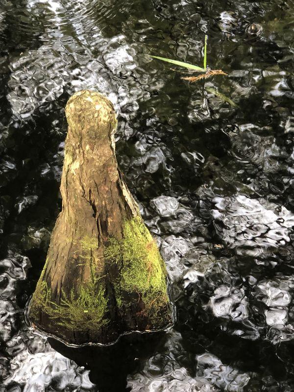 Cypress Knee thumbnail
