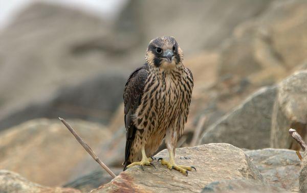 Peregrine Falcon thumbnail